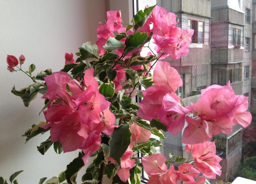 Цветение бугенвиллии на подоконнике в квартире