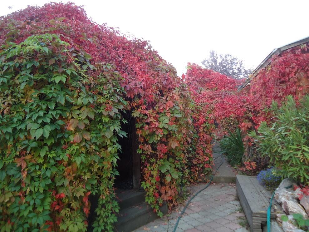 Вертикальная изгородь с девичьем виноградом