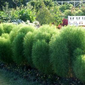 Зеленые кустики однолетней кохеи