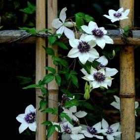 Цветущая лиана на бамбуковом заборе