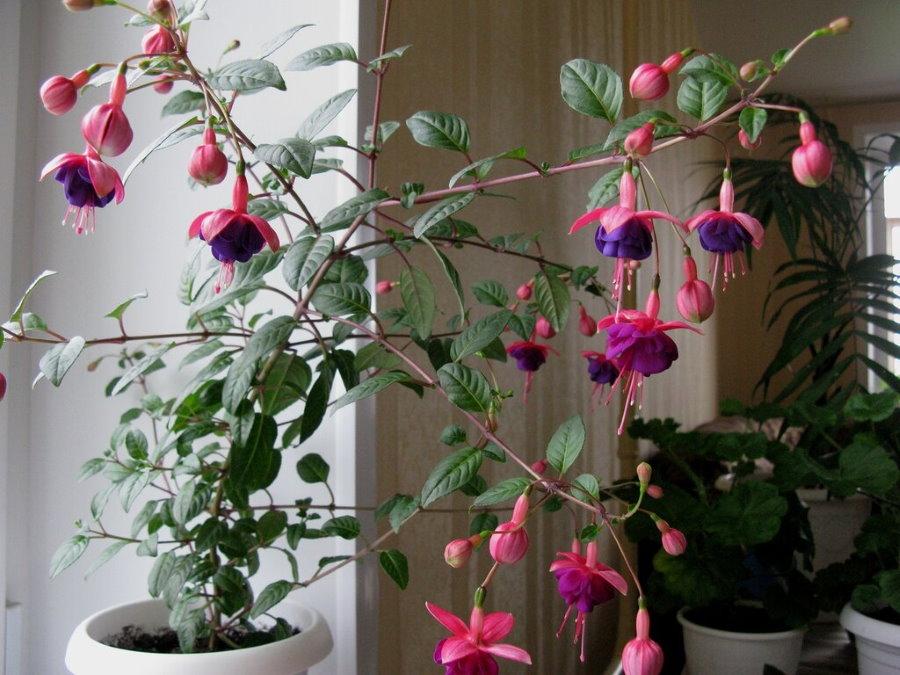 Розово-фиолетовые цветки фуксии в условиях квартиры