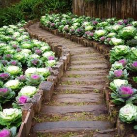 Цветная капуста вдоль садовой тропинки