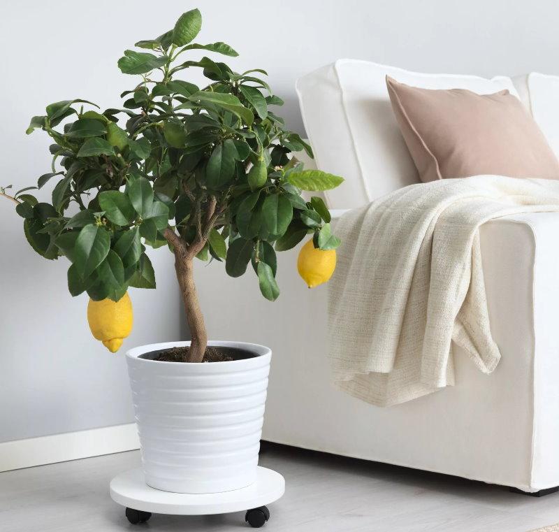 Лимонное дерево около дивана в гостиной