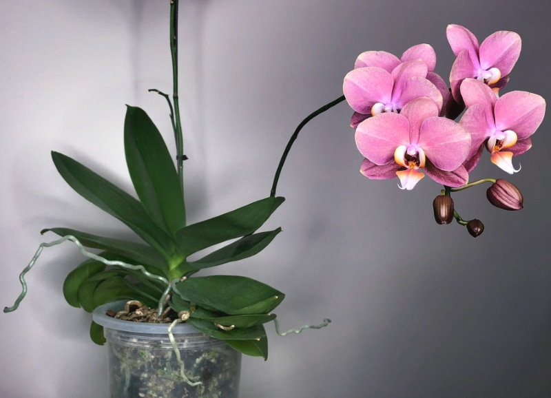 Розовые цветки орхидеи фаленопсис в пластиковом стаканчике