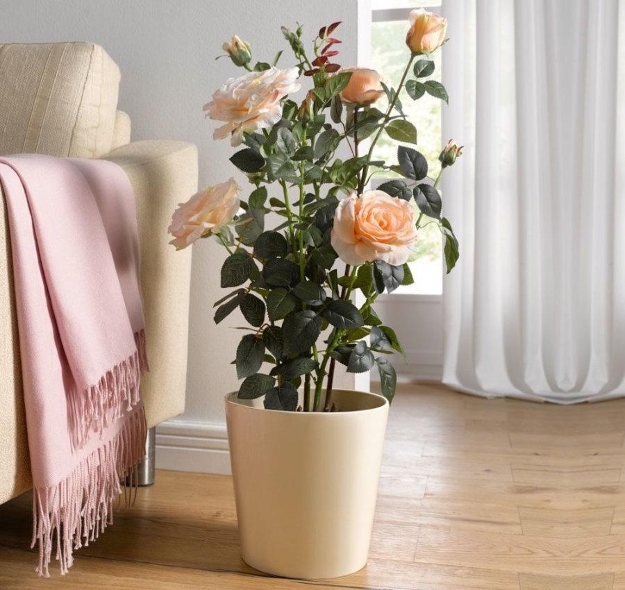 Цветущий куст розы в домашних условиях
