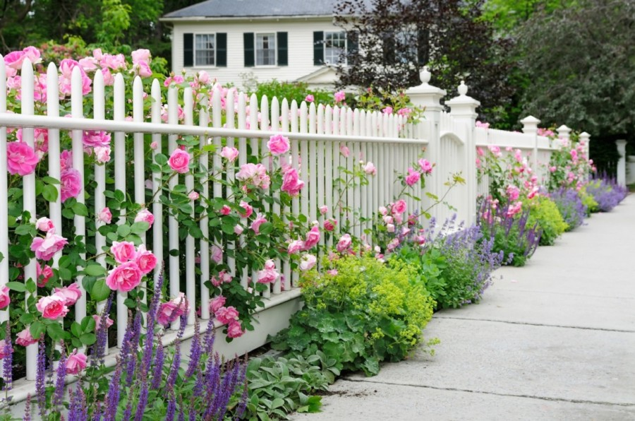 Кусты роз вдоль белого забора на даче
