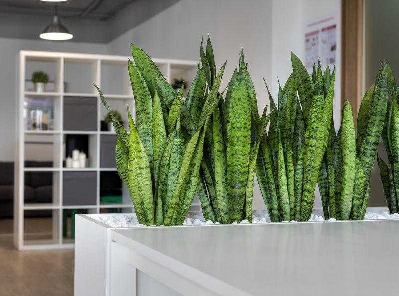Зеленые листья сансевиеры в контейнере с белым щебнем
