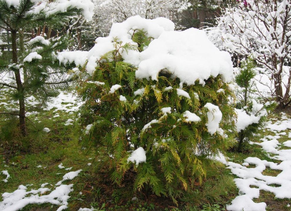 Белый снег на зеленой макушки садовой туи