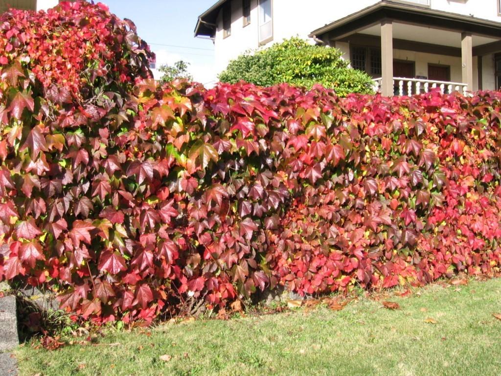 Багровые листья девичьего винограда в начале осени