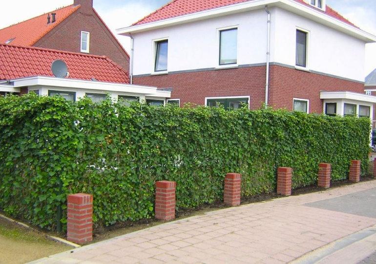 Ограждение садового участка живой изгородью