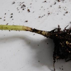Черная ножка на рассаде бархатцев
