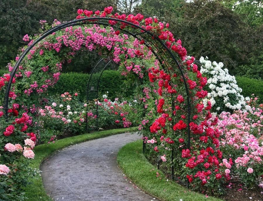 Плетистые розы на садовой арке из стальных труб