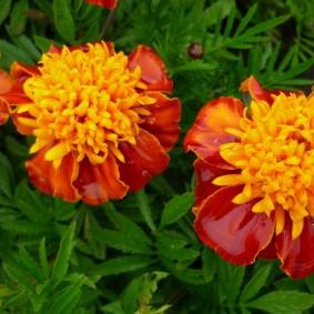 Красивые цветки бархатцев анемоновидного типа