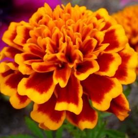 Крупный цветок бархатцев гвоздиковидного типа