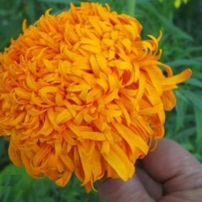 Оранжевый цветок бархатцев хризантемной разновидности
