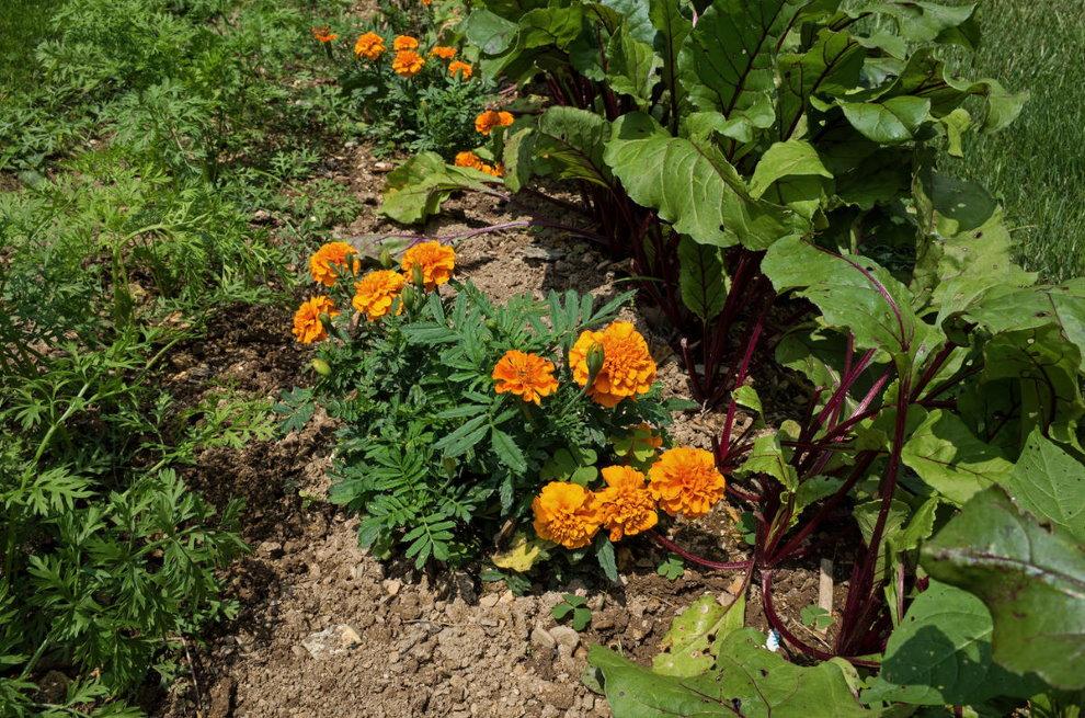 Бархатцы на одной грядке с морковью и свеклой