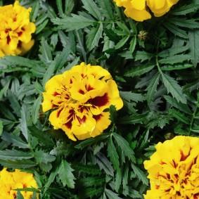 Двухцветная окраска цветков отклоненных бархатцев