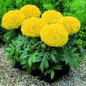 Рассада прямостоячих бархатцев с желтыми цветками