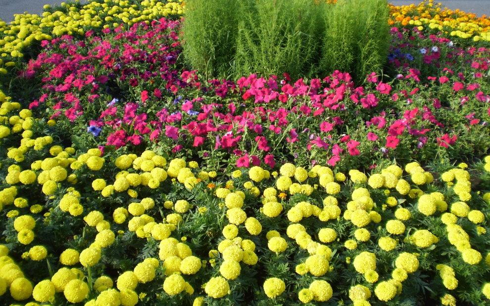 Сочетание бархатцев с петунией на цветочной клумбе