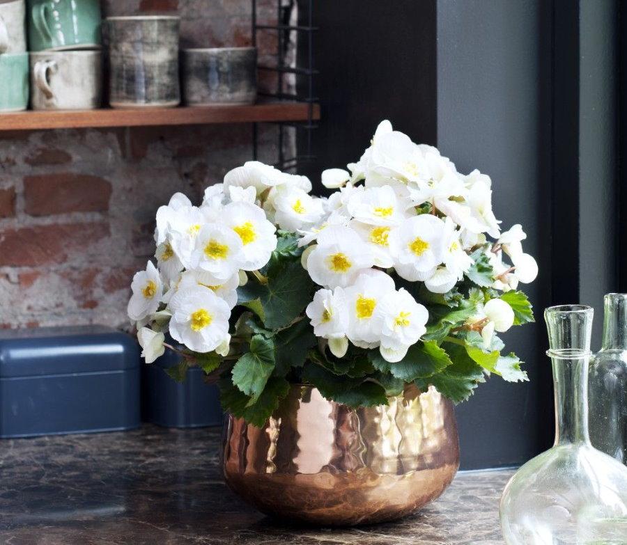 Белые цветки бегонии в блестящем горшке