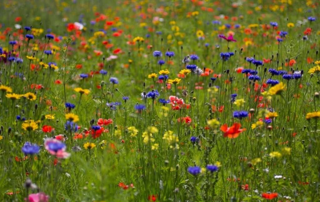 Цветущий газон на загородном участке