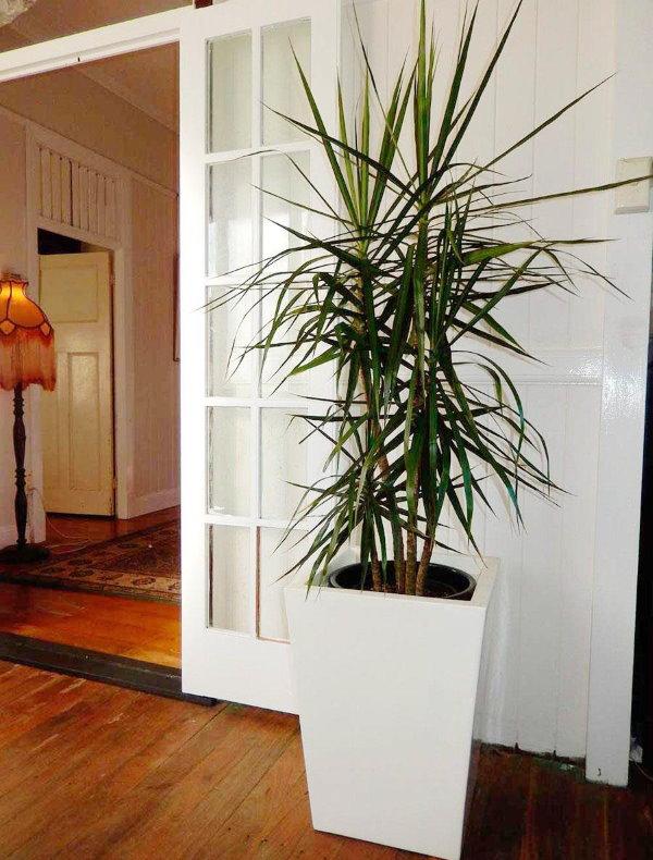 Высокий куст драцены в зале квартиры