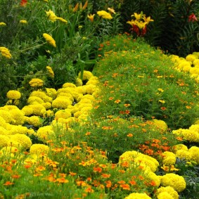 Махровые бархатцы желтого цвета