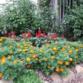 Цветение бархатцев в начале лета