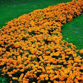 Полоса из оранжевых бархатцев на английском газоне