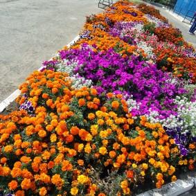 Сочетание чернобривцев с другими цветами на одной клумбе