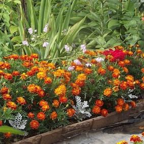 Гвоздикоцветные бархатцы на садовой клумбе