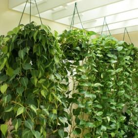 Кашпо с ампельными растениями на потолке комнаты