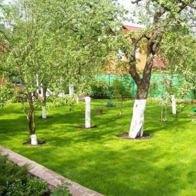 Побеленные стволы плодовых деревьев
