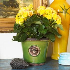Комнатная бегония с желтыми цветками