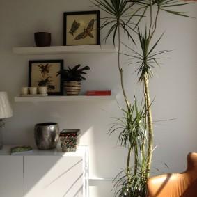 Драцена в комнате с белыми стенами