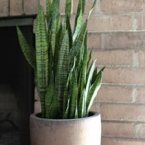 Узкие длинные листья домашнего растения