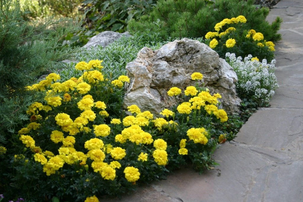 Светло-желтые бархатцы на клумбе с камнем