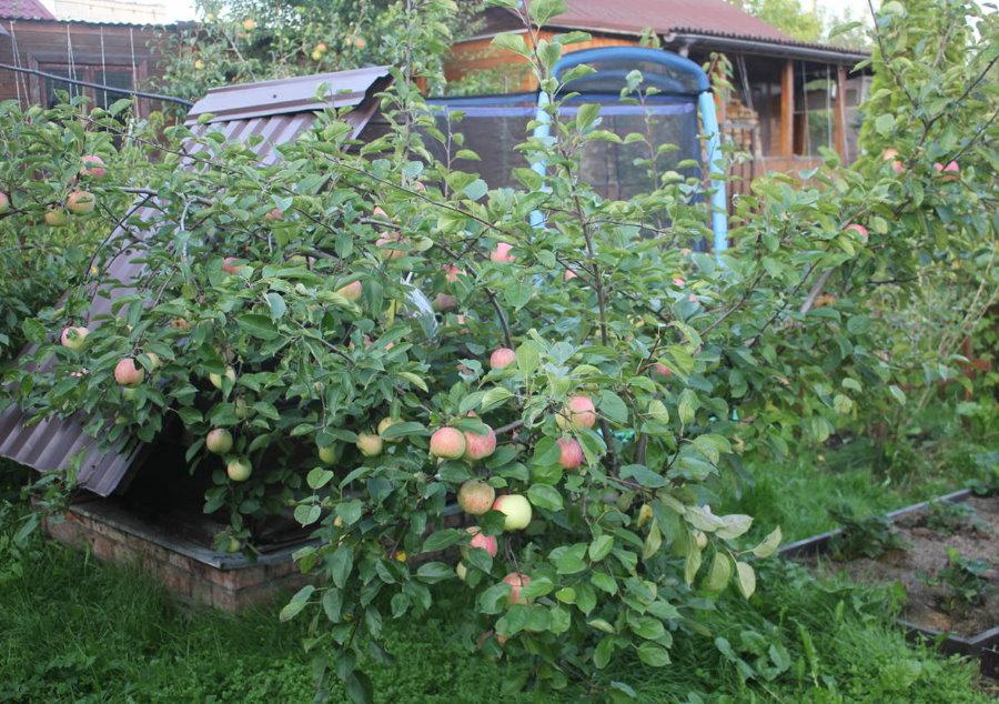 Плодоношение карликовой яблони на маленькой даче
