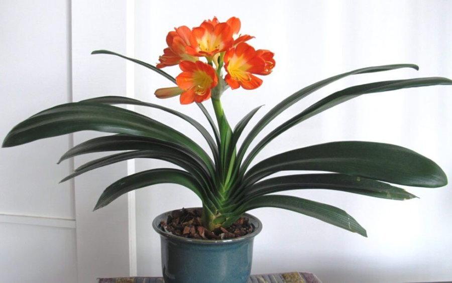 Красивые цветки домашней кливии