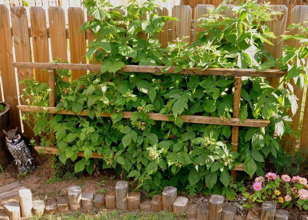 Посадка малины вдоль деревянного забора