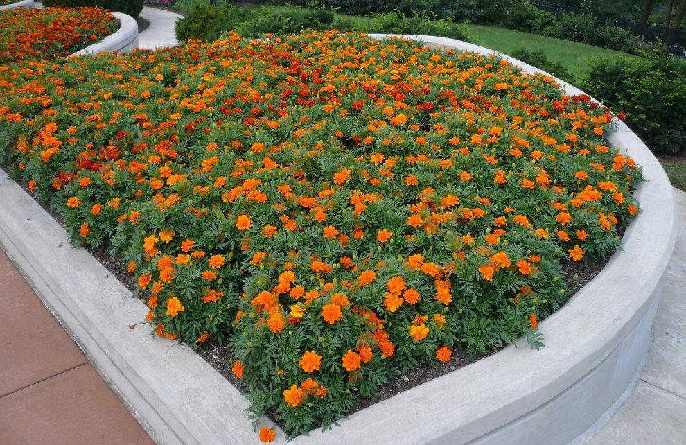 Садовая клумба с оранжевыми бархатцами