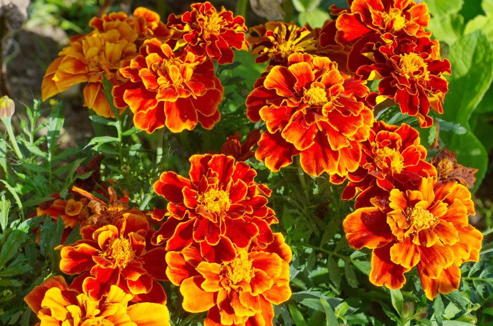 Цветущий куст бархатцев однолетних на дачном участке