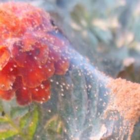 Признаки поражения бархатцев паутинным клещом
