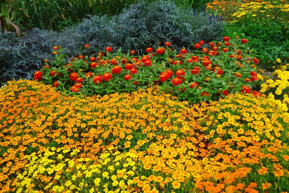 Яркие бархатцы посередине садовой клумбы