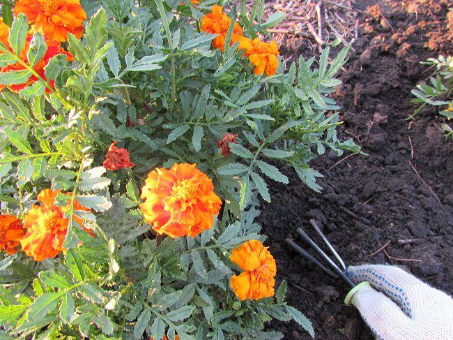 Рыхление поверхности почвы на клумбе с бархатцами