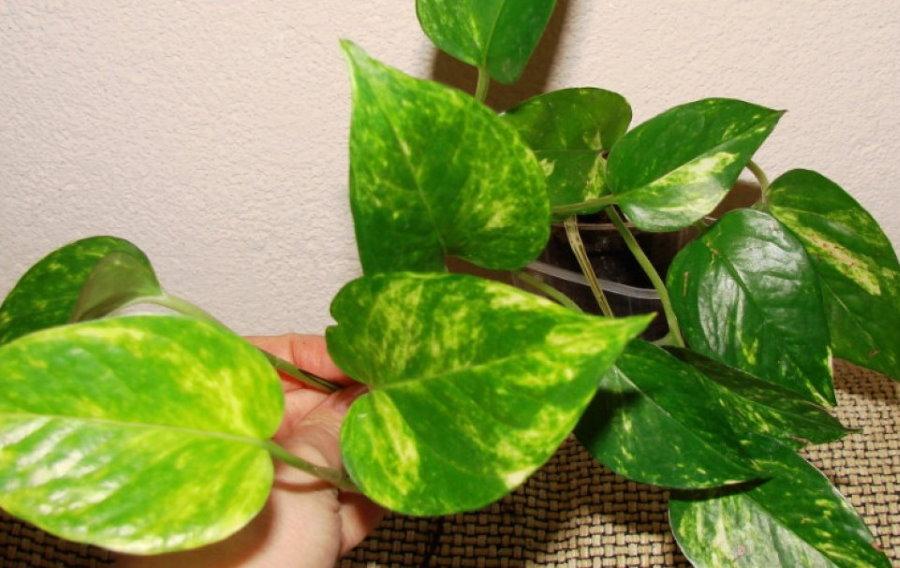 Окраска листьев золотистого сциндапсуса в условиях квартиры