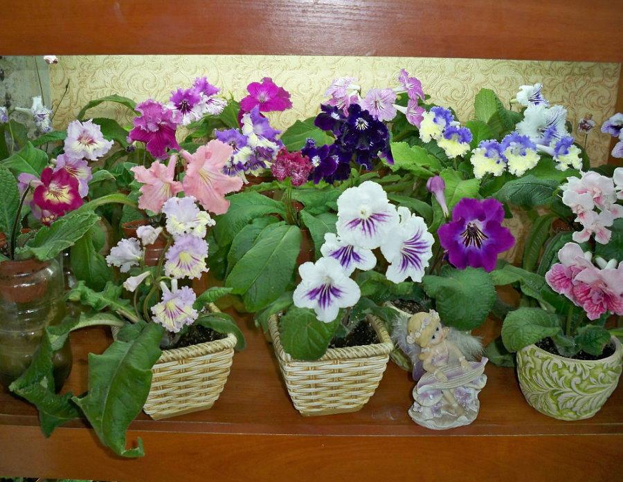 Цветение Стрептокарпусов в домашних условиях