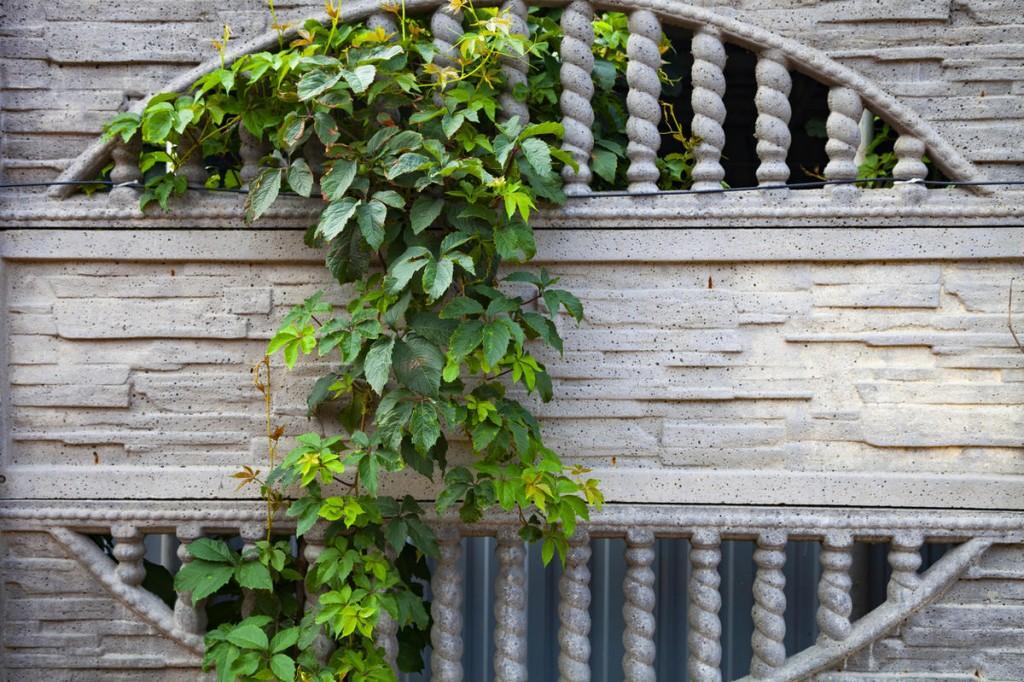Девичий виноград на железобетонной секции забора