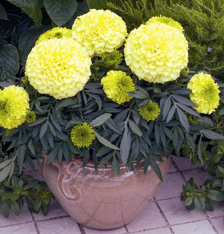 Желтые махровые бархатцы в керамическом горшке