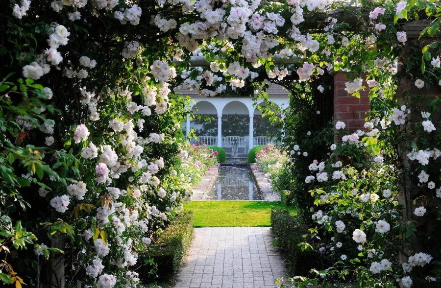 Белые цветки розы на перголе в классическом саду